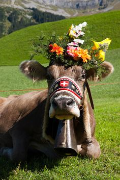 Une belle vache -- a beautiful cow