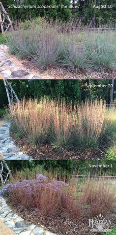 Here's a fun look at the many colors of native grass The Blues Little Bluestem (Schizachyrium scoparium 'The Blues'). Photos taken at the Discovery Garden, Sarah P. Duke Gardens in Durham, North Carolina.