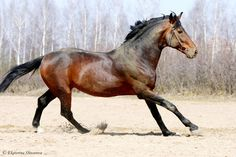 Ukrainian Riding Horse stallion Бесподобный (Bespodobnyy)