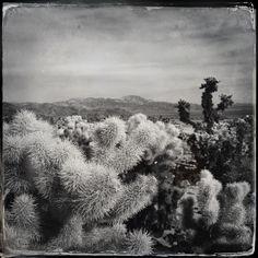 Cholla cacti in the Colorado Desert Joshua Tree National Park
