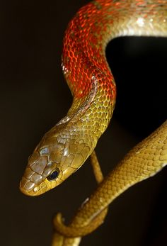 Red-necked Keelback - This is the only genus of snake in the world that is actually both poisonous and venomous. The fluid at the nape of the neck is a poison tha...