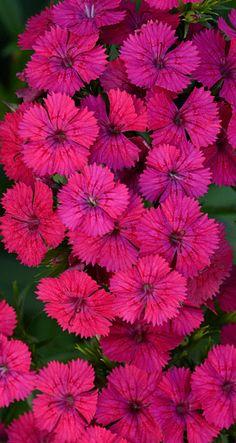 Jolt Cherry Dianthus Bold Hot Pink Flowers Perennial