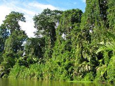 Am Rande undurchdringlicher Dschungelgebiete erheben sich grüne Baumriesen von den Flussufern.