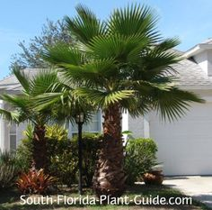 washingtonia palms - big heads sharp petiole, like sun and to dry out between waterings