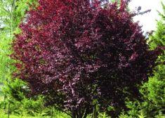 Prunus, Berries, Garden, Fotografia, Garten, Lawn And Garden, Bury, Gardens, Peach