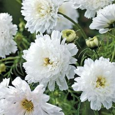 Double Click Snow Puff Cosmos - Annual Flower Seeds.