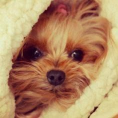 Nothing like a sweet little yorkie face or a yorkie as they are the bestest babies ever!