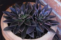 Echeveria schwarzer prince succulent, such a beautiful purple....wish I could find them to buy!