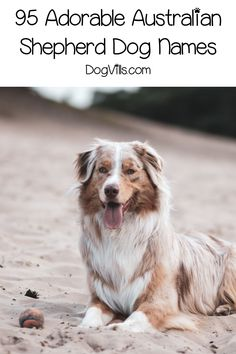 Looking for some adorable Australian Shepherd dog names? How about 95 of them? We've chosen the best inspired by all the features of this gorgeous dog! Girl Dog Names, Best Dog Names, Puppy Names, Best Dogs, Australian Shepherd Names, Australian Dog Names, Australian Shepherd Training, Dog Health Tips, Pet Health