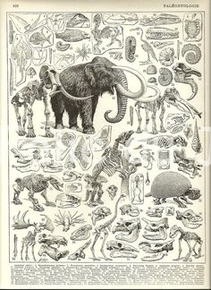 Vintage Dinosaur Paleontology mammoth skeleton poster illustration from a Vintage French Larousse Dictionary poster 1930