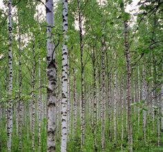 ООО «Сибирская академия деревьев и кустарников» :: Главная :: Каталог :: Лиственные деревья :: Береза :: Береза повислая
