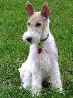 Wire haired fox terrier puppy.---looks like my Sassy girl :( miss her so much