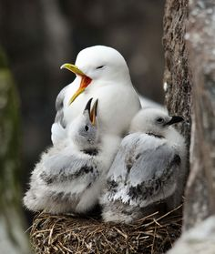 This kittiwake mom is clearly tired after a long day of taking care of her adorable chicks. These seabirds have made their nest on the rocky Staple Island in the Farne Islands, Northumberland, UK.