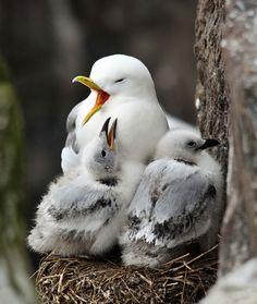 Kittiwake nest with young birds