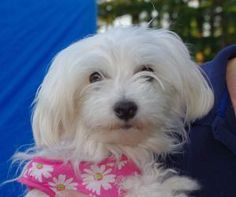 Bella is an #adoptable Maltese Dog in #Longview #WASHINGTON - Please contact Paula ( pjstoppler@msn.com ) for more information about this pet. Beautiful Bella - snow white coat and sparkling eyes, you will fall...