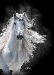 Картинки по запросу andalusian horses black and white
