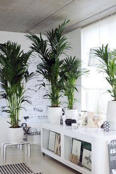 Howea ist bestens für Arbeitsplätze und Büros geeignet.  #pflanzenfreude #pflanzen #bbh #kentia #howea