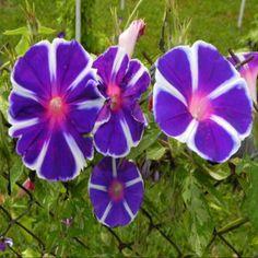 Japanese Morning Glory 'Mt. Fuji Mix'-10 Seeds Mexican Sunflower, Morning Glory Flowers, Garden Express, Full Sun Perennials, Climbing Vines, Lavender Blue, Passion Flower, Zinnias, Hanging Baskets