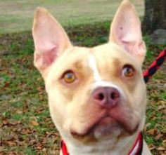 Savannah is an adoptable French Bulldog Dog in Lake Panasoffkee, FL. Savannah is a French Bulldog mix, 2yrs old, and after a good walk or playtime she is very loving and calm. Savannah has been throug...
