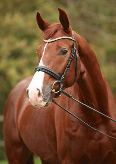 Stanwood Breed Hanoverian