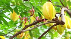 Caramboles de Guadeloupe French West Indies, Caribbean Art, Tropical Fruits, Flowering Trees, My Land, Fruit Trees, Barbados, Tutti Frutti, Plants