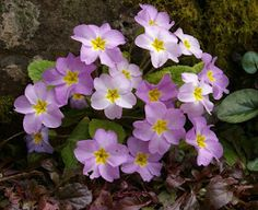 John Grimshaw's Garden Diary: Primula vulgaris subsp. sibthorpii