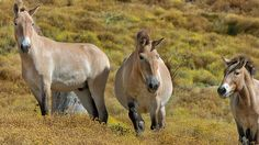 The Przewalski's horse,the closest living relative of the domestic horse, roaming in a field.