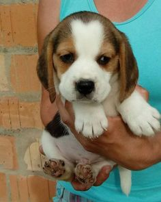 """Visit our website for even more details on """"beagles"""". It is actually a great area for more information. Border Terrier Puppy, Terrier Puppies, Bull Terrier Dog, Hound Dog, Cute Little Puppies, Baby Puppies, Cute Puppies, Cute Dogs, Dogs And Puppies"""