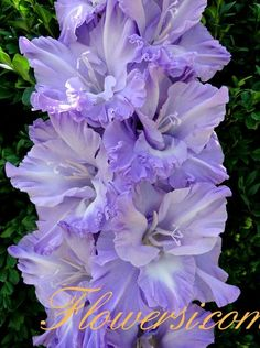 Designs For Garden Flower Beds Gladiolus 'Chief naval officer Ushakov' Gladiolus Bulbs, Gladiolus Flower, Types Of Flowers, Purple Flowers, Beautiful Flowers, Spring Bulbs, Spring Blooms, Blossom Garden, Flower Pictures