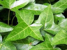 How to Care for Ivy Plants in the Home | Garden Guides