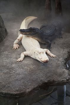 Albino Alligator a wonder of nature... Amazing!... Animal Anatomy, Albino, Photoshop, Reptiles, Beautiful Creatures, Animals Beautiful, Black Animals, Especie Animal, Weird World