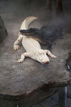 Albino Alligator a wonder of nature... Amazing!...