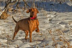 Magyar Vizsla| Roso's Heart Is As Big As It Looks | Flickr - Photo Sharing!