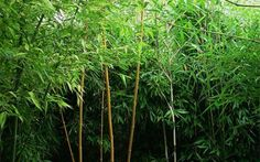 13_bambusove_zakouti Herbs, Plants, Pictures, Herb, Plant, Planets, Medicinal Plants