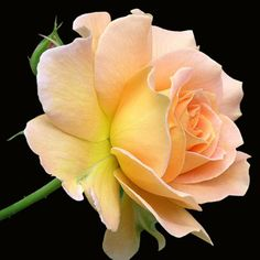 ~Floribunda Rose 'Honey Perfume'