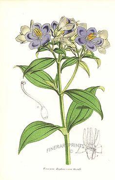 Antique print: picture of Exacum zeylanicum -
