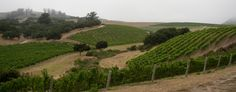 Turner Vineyard is a twenty-one acre vineyard located in the northern part of Sta. Rita Hills appellation.  Ryan Carr planted it in 2000.  It has 1.5 acres of Syrah, 1.5 Chardonnay, 3 acres of Pinot Gris, and 15 acres of Pinot Noir.