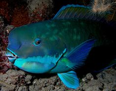 A fish in East Timor -- 'Turquoise'