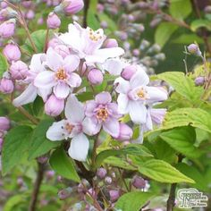 Buy Deutzia x hybrida Mont Rose (Deutzia) online from Jacksons Nurseries
