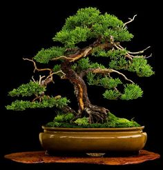 Lovely juniper w/ many natural looking jins on jita