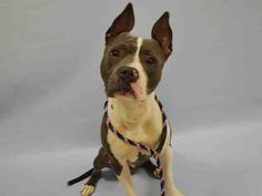 Manhattan center MUSTARD – A1084206 MALE, GRAY / WHITE, AM PIT BULL TER, 1 yr STRAY – STRAY WAIT, NO HOLD Reason STRAY Intake condition UNSPECIFIE Intake Date 08/04/2016, From NY 10457, DueOut Date 08/07/2016,
