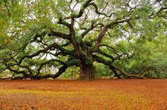 A 1500 year old Angel Oak tree in South Carolina
