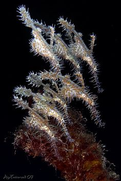 Ghost Pipefish family