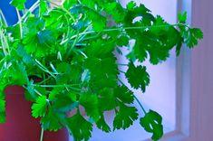 Home Vegetable Garden, Herb Garden, Cilantro, Garden Care, Garden Projects, Parsley, Cactus, Herbs, Vegetables