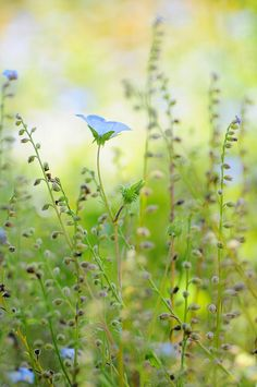 Blue Flax (Linum perennis) - I love the dainty, blue flowers, and the plant is hardy, especially in dry conditions.