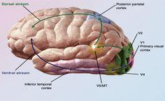5 metode simple prin care ne putem m enţine sănătatea creierului Visual Cortex, Good To Know, Remedies, Health Fitness, Healthy, Simple, Food, Teas, Medicine