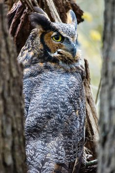 Great Horned Owl by Eckybay, via Flickr
