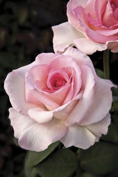 Pink Promise-  This 2009 winner is a classic Hybrid Tea that has the whole package: high centered bud, long stems perfect for cutting, very soft shade of pale pink, and sweet fragrance.