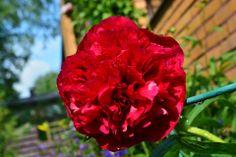 Nyt pöyhistelee pioni   Vesan viherpiperryskuvat – puutarha kukkii