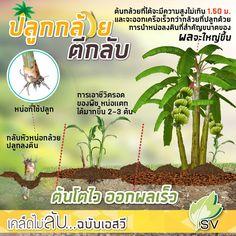 โครตทึ่ง !!! แปลกแต่จริง ปลูกกล้วยกลับหัว จาก 8 หวี กลายเป็น 4 เครือเครือละ 10 หวี Eco Friendly House, Farm Gardens, Green Trees, Agriculture, Vegetable Garden, Knowledge, Home And Garden, Landscape, Gardening